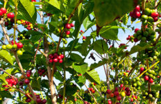 Greenwell Farms kona coffee
